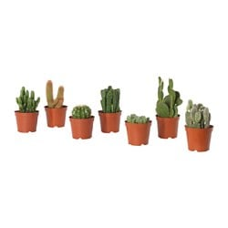 CACTACEAE potted plant, cactus, assorted
