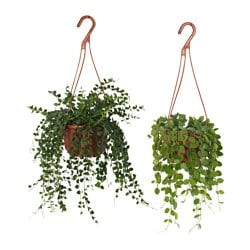 DISCHIDIA potted plant, hanging, assorted