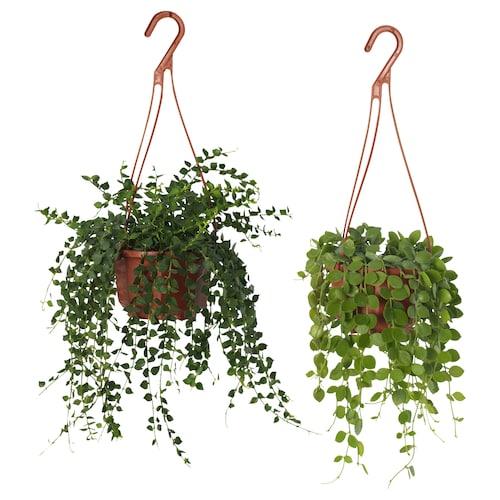 DISCHIDIA potted plant hanging/assorted 9 cm 7 cm