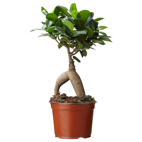 IKEA FICUS MICROCARPA GINSENG Potted plant