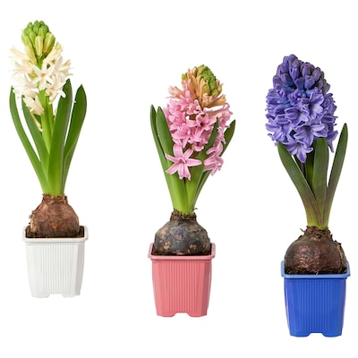 HYACINTHUS Potted plant, 1 bulb, Hyacinth assorted colours, 6 cm