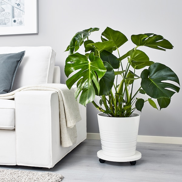MONSTERA Potted plant, Swiss cheese plant, 24 cm
