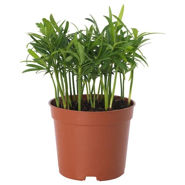 PODOCARPUS Potted plant, Yew pine, 9 cm