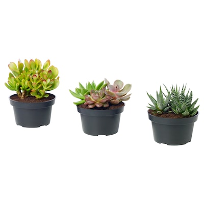 SUCCULENT Potted plant, arrangement/assorted, 12 cm
