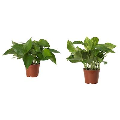 EPIPREMNUM 绿萝 盆栽植物, 综合, 9 厘米