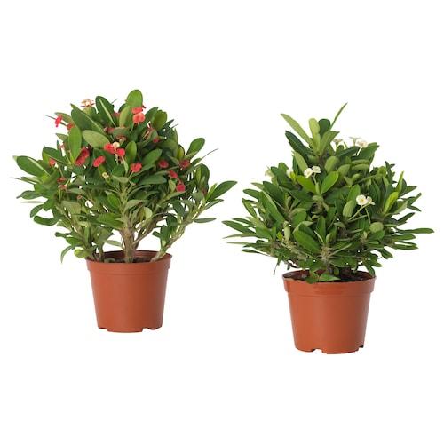 尤福比亚 米莉 盆栽植物 虎刺梅 多色 9 厘米 19 厘米