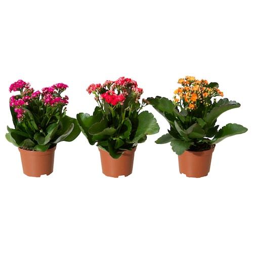 长寿花 盆栽植物 长寿花/综合 11 厘米 23 厘米