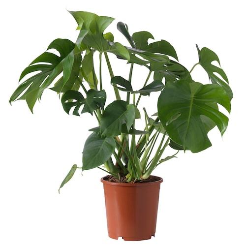 龟背竹 盆栽植物 龟背竹 24 厘米 75 厘米
