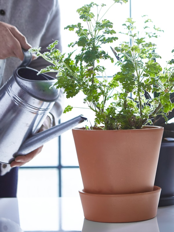 A green plant in a plant pot on a table surface being watered by a person holding a metal watering can.