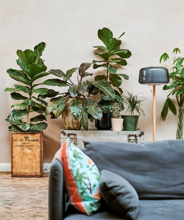 A big plant potted in a tea crate, next to a silver trunk with plants on top and a floor lamp arranged behind a blue sofa.