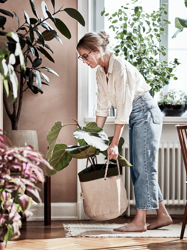 A female urban gardener moving around a big plant in a planting bag. Shown in a living room.