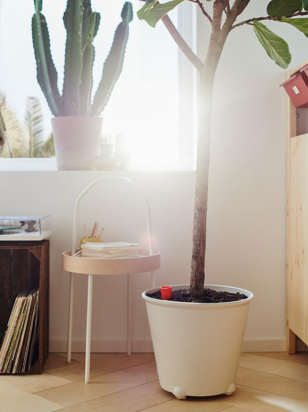 A sunny window with a cactus and a large, white IKEA PS FEJÖ plant pot with a large fig tree standing on the floor.