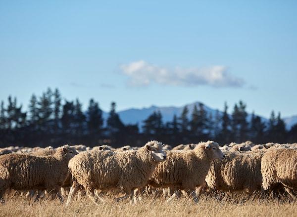 成百上千头羊在阳光下吃草,为宜家地毯提供羊毛。