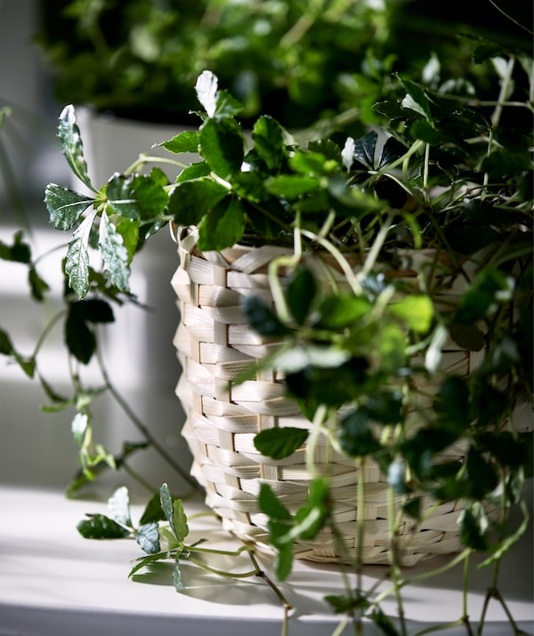 Detail image of a KAFFEBÖNA plant pot and its outer shell of woven bamboo fibre, holding a viny plant with small leaves.