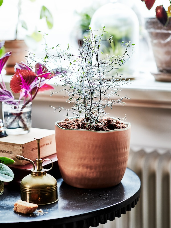 Greenery growing out of a medium sized terracotta plant pot. Shown on a small round table next to gardening items.