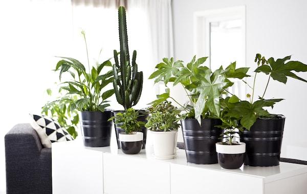 黑白色调的室内摆着饰有许多绿色盆栽植物的白色餐边柜。
