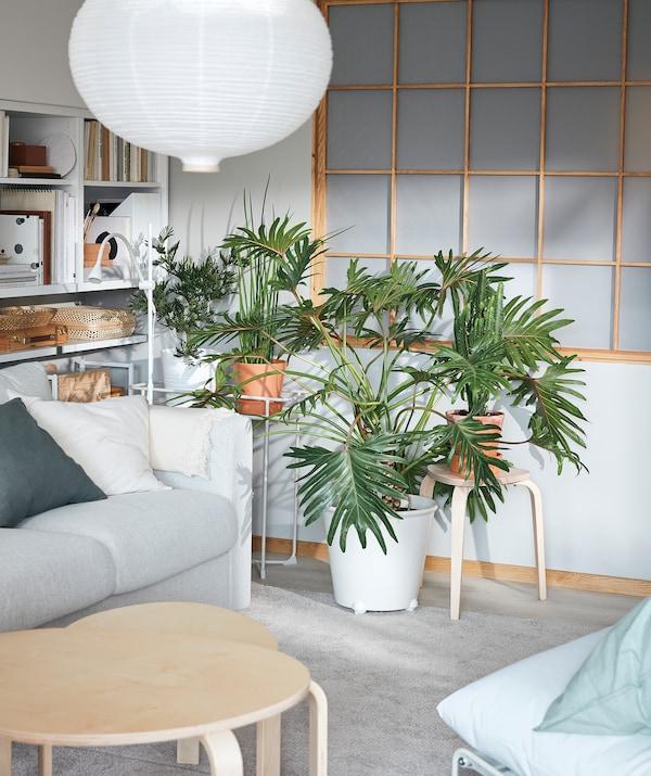 客厅一角摆放着一组枝条蔓延的植物。IKEA PS FEJÖ 菲耶 附轮花盆里种植着一株大型龟背竹。