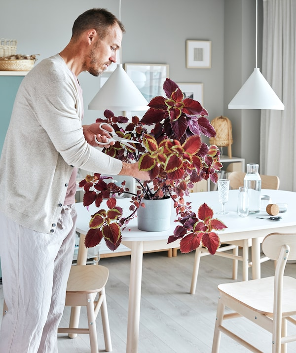 Living room interior – table, chairs, bookcases – with a man pruning a plant, using scissors to cut off sprawling twigs.