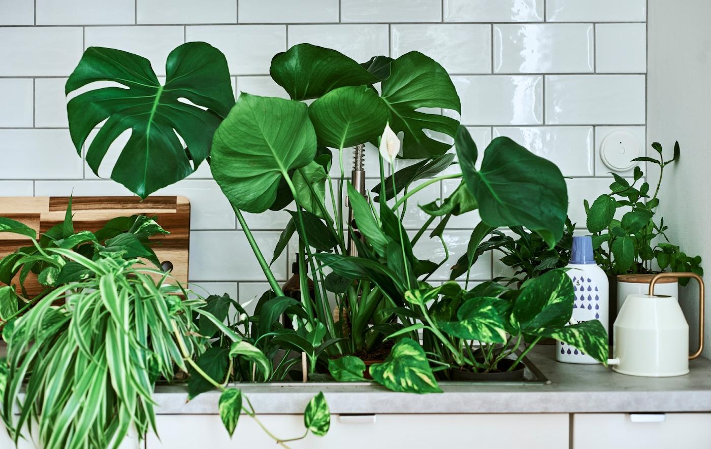 水槽里种着龟背竹与和平莲等室内植物,操作台上放着带金色把手的洒水壶和植物肥料。
