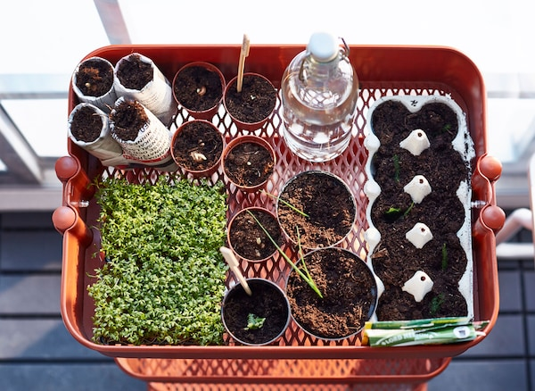 The top shelf of a red trolley is filled with seedlings planted in pots.