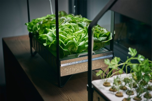 Two KRYDDA/VÄXER hydroponics indoor gardering kits and lush green herbs or lettuce.