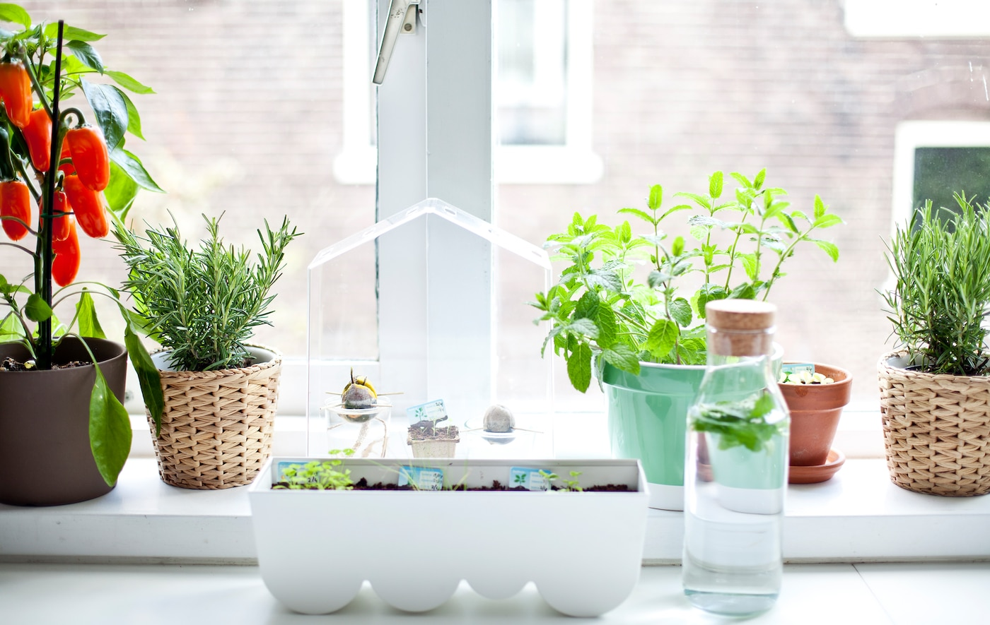 Window sill garden with herbs, plants and mini greenhouse SEO-friendly name: Window sill garden