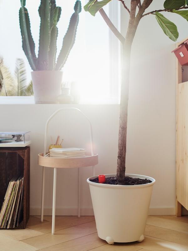 阳光明媚的窗户边,有一棵仙人掌,地上还摆放着一个白色IKEA PS FEJÖ IKEA PS 菲耶 花盆,盆中是一棵无花果树。