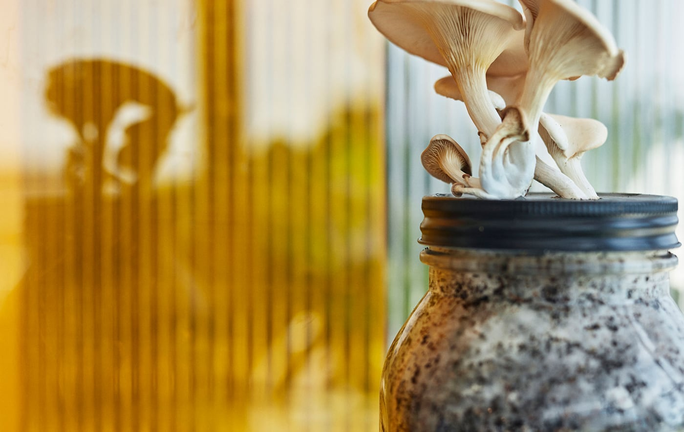 一簇蘑菇穿过玻璃罐的盖子发出嫩芽,罐子里满是菌丝和咖啡渣。