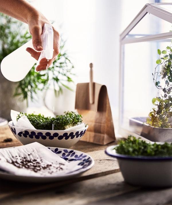 一张粗糙的木质桌子,配有一个陶瓷盘和几只陶瓷碗,纸上有种子和自家种植的水芹,正在给它们喷水。