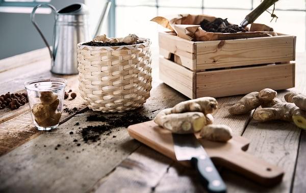 在一张木质桌子上,正在把生姜种进一个藤条花盆中,花盆旁边是一个木盒,里面装有棕色纸和土壤。