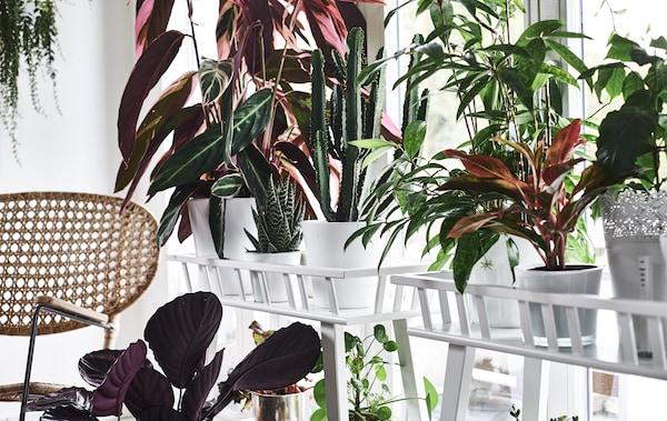 植物架位于窗户和柳条椅前,上面摆放着丰富多彩的植物。