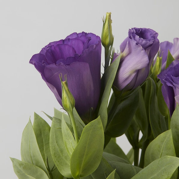 EUSTOMA Potted plant, Prairie Gentian assorted, 12 cm
